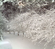 Cherry Trees in Snow on the drive leading to The Coach House