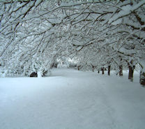 Cherry Blossom Trees in the snow